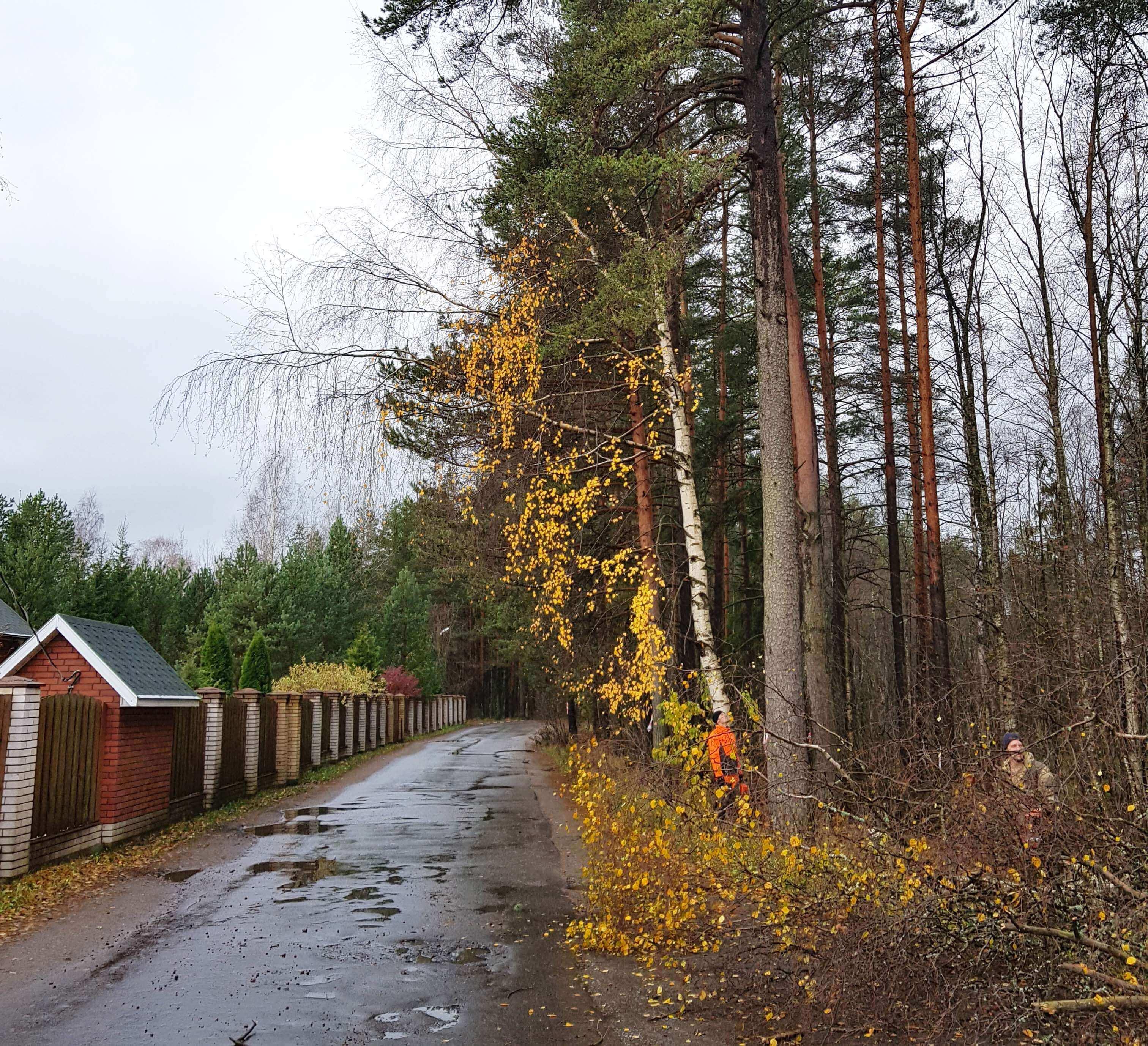Валка деревьев для расширения дороги ДО